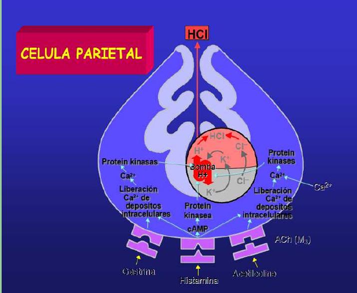 celula parietal
